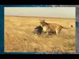 Нереальная битва кабан против льва